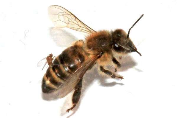 Lebah Zombie